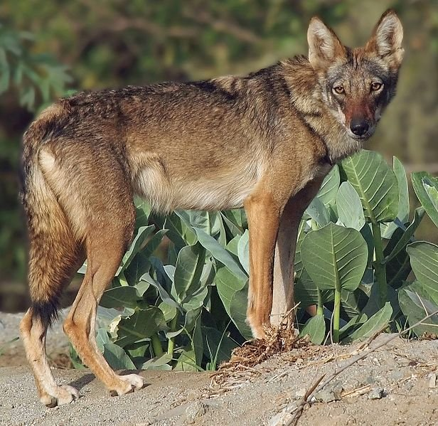 wolves eat fruits, vegetables and grains